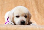 Yellow labrador puppy portrait close up — Stock fotografie