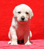 Nice yellow labrador puppy portrait on red — Stock Photo