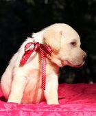 Nice yellow labrador puppy portrait on red — Stockfoto