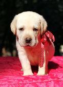红黄色拉布拉多小狗肖像 — 图库照片