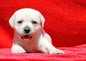 Happy yellow labrador puppy portrait on red — Stock Photo