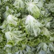 Stock Photo: Macro view of fresh lettuces with crinkly leaves