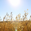 Stock Photo: Cereals by bright sun and blue sky.