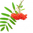 Branch of the rowan berries - Stock Photo