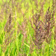 Stems of sedge — Stock Photo