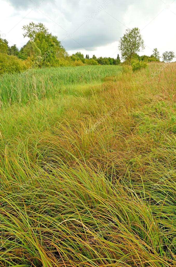 The lush grass in the swamp — Stock Photo #12904590