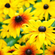 Lush flowering rudbeckia flowers — Stock Photo