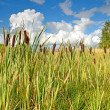 Reeds — Stock Photo #13189790