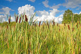 The Reeds — Stock Photo
