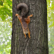 Squirrel on the tree — Stock Photo #13297954