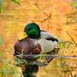 Mallard duck — Stock Photo #13609430