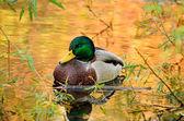 The mallard duck — Stock Photo