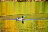 The mallard duck on the pond — Stock Photo