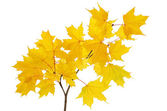 Maple branch with bright yellow leaves — Stock Photo