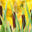 Reeds — Stock Photo #13690753