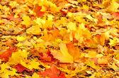 Colorful autumn maple leaves — Stock Photo