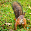 Squirrel sitting on the ground — Stock Photo #14113862