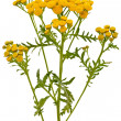 Tansy (Tanacetum Vulgare) flowers - Stock Photo
