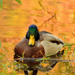 The beautiful mallard duck - Stock Photo