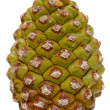 Green pine cone - Stock Photo