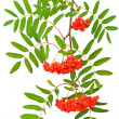 Branch of red rowanberries - Stock Photo
