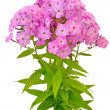 Bouquet of pink phlox - Stock Photo