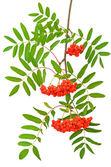 Branch of red rowanberries — Stock Photo