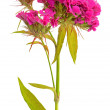 Dianthus barbatus flower - Stock Photo