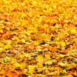 Colorful autumn maple leaves - Stock Photo