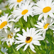 Chamomile flowers - Stock Photo