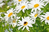 Chamomile flowers — Photo