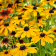 Rudbeckia flowers in the garden - Stock Photo