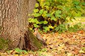 Белка в Осенний парк — Стоковое фото