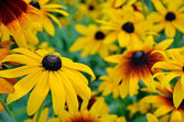 Rudbeckia flowers — Stock Photo