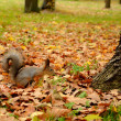 Squirrel in the autumn park — Stock fotografie