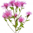 Cornflower (Centaurea jacea) - Stock Photo
