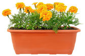Tagetes flowers in balcony flowerpot — Stock Photo