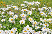Chamomile flowers — Stock Photo