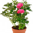 Pink Rose in the flower pot — Stock Photo