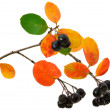 Black chokeberry (Aronia melanocarpa) — Stock Photo