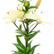 Beautiful white lily flowers — Stock Photo
