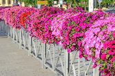 Colorful petunia flowers — Stock Photo
