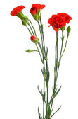 Branch of red carnation — Stock Photo