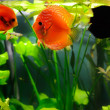 Discus fishes - Stock Photo