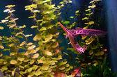 Florida gar fish — Stock Photo