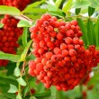 Rowan berries on a tree - Stock Photo