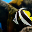 Stock Photo: Pennant coralfish
