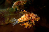 Red lion (Pterois miles) fish — Foto de Stock