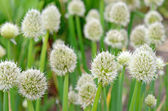 Flores de cebolla — Foto de Stock