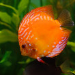 Orange discus - Stock Photo